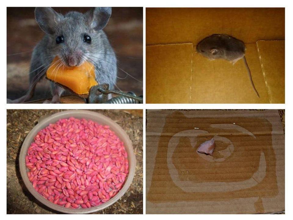 Уничтожение мышей самостоятельно
